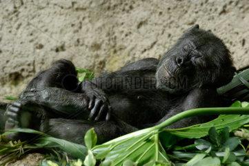 Schlafender Schimpanse in einem Nest aus Bananenblaettern
