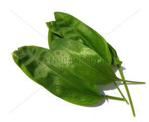 Baerlauch  Allium  ursinum