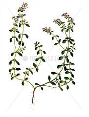 Feldthymian Thymus serpyllum Heilkraeuter