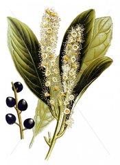 Kirschlorbeer Prunus laurocerasus Giftpflanze