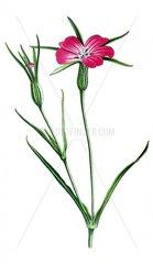 Kornrade Agrosthemma githago Giftpflanze