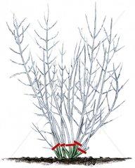 Blauraute Perovskia abrotanoides Pflanzenschnitt