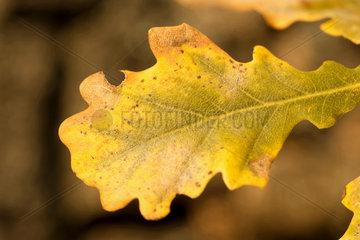 Eichenblatt im Herbst
