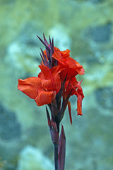 Bluete des Blumenrohr  Canna ( CAnna spec.) Afrika  Asien
