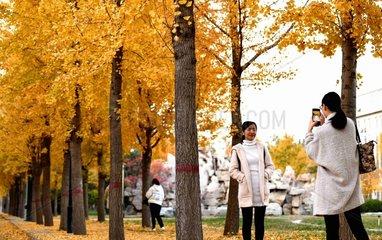 #CHINA-AUTUMN-LEISURE-GINKGO (CN)