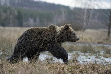 umherziehend... Europaeischer Braunbaer *Ursus arctos*