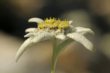 Edelweiss Zuchtsorte Helvetia