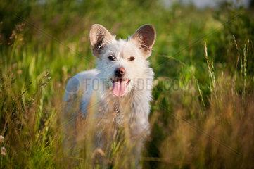 Single white stray tyke dog in meadow