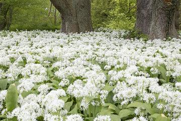 Bl__hender Ba__rlauch (Allium ursinum)  Putbus  R__gen  Deutschland  Europa