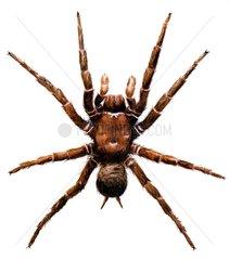 Trichternetzspinnne Atrax robustus Giftspinne