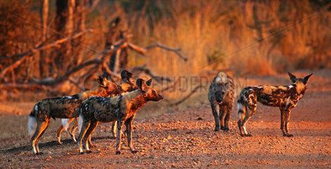 Wildhunde mit Hyaene  Lycaon pictus  South Luangwa Nationalpark  Sambia; wild dogs with hyena  South Luangwa National Park  Zambia