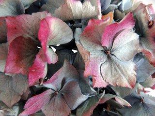 Hortensienblueten