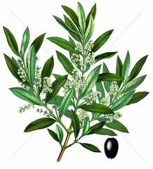 Olivenbaum Olea europae Echter Oelbaum