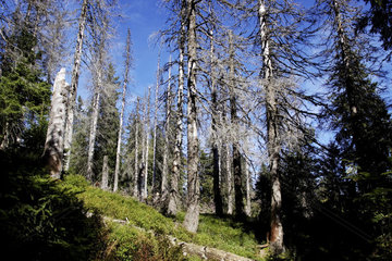 abgestorbene Fichten am Feldberg im Schwarzwald
