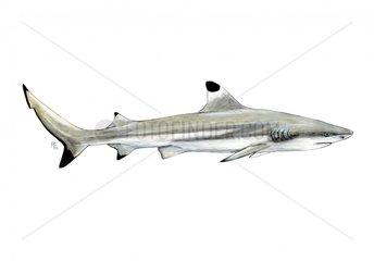 Carcharhinus melanopterus Schwarzspitzen-Riffhai
