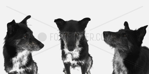 collage of three photos of a crossbreed dog