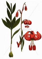 Tuerkenbundlilie Lilium martagon