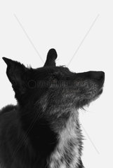 crossbreed dog in front of a white background