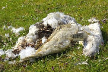 Von einem Raubtier gerissener und zerfetzter Wasservogel.