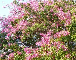 Lissabon Portugal Florettseidenbaum 3 Ceiba speciosa