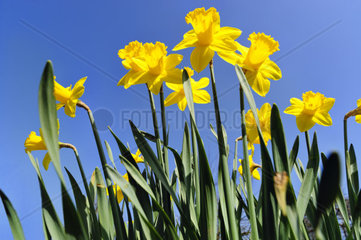 Yellow daffodils against blue sky