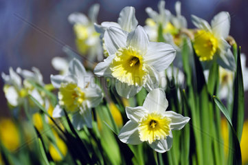 Daffodil with white petals