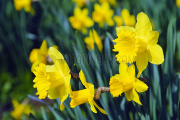 yellow daffodils on a green meadow