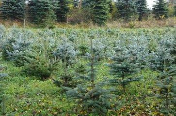 Plantation of Christmas trees