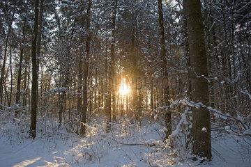 Winterwald  Fichten (Picea abies)  Schwaebische Alb  Baden-Wuerttemberg  Deutschland  Europa