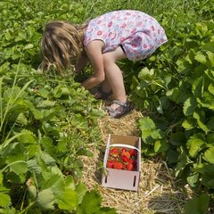 Little girl picks up strawberries into a basket