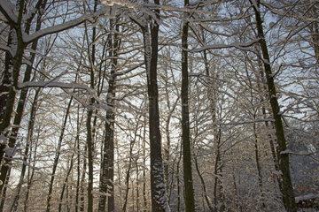 Winterwald  Buchen (Fagus sylvatica) und Pappeln (Populus spec.)  Schwaebische Alb  Baden-Wuerttemberg  Deutschland  Europa