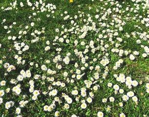 Das Gaensebluemchen Bellis perennis ist eine Pflanzenart aus der Familie der Korbbluetler Asteraceae Da es auf fast jeder Rasenflaeche waechst  zaehlt es zu den bekanntesten Pflanzenarten Mitteleuropas