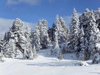 Tief verschneite Winterlandschaft von Tannen und Zirbenbaeumen