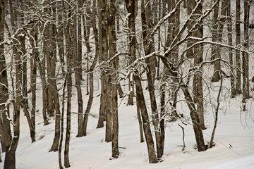 Winterwald  Buchen (Fagus sylvatica)  Gerstruben bei Oberstdorf  Allgaeu  Bayern  Deutschland  Europa