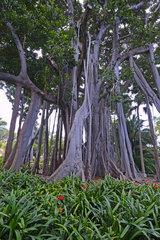 Luftwurzeln und Stamm der grossblaettrige Feige (Ficus macrophylla