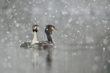 Wintereinbruch... Haubentaucher *Podiceps cristatus*