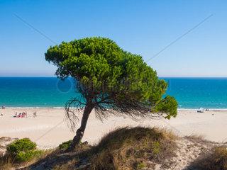 Strand von Bolonia  Tarifa  Spanien  costa de la luz mit Pinien
