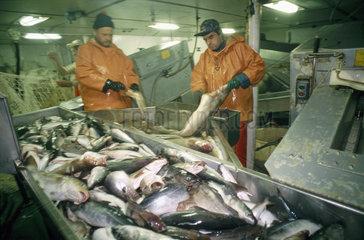 Arbeiten an Bord eines deutschen Fischtrawlers im Atlantik - Manuelles Ausnehmen von Frischfisch in der Fabrik des Schiffes  Aussortieren von Kleinfischen