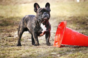 franzoesische Bulldogge mit Spielzeug