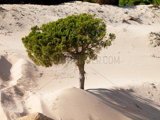 Wanderduene begraebt mit der Zeit Baeume und ganze Waelder unter sich  Punta Paloma  Tarifa  Andalusien  Spanien  Europa
