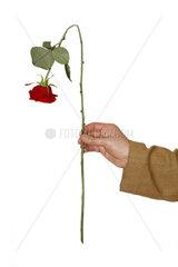 Hand haelt abgeknickte Rose