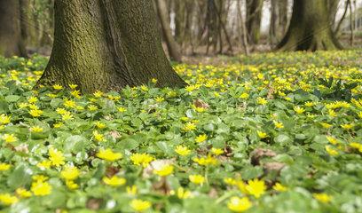 Blumenteppich aus Scharbockskraut  Nuernberg  Bayern