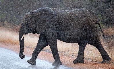 Elefant im stroemenden Regen  Kruger Nationalpark Suedafrika; african elephant in the rain  south africa  wildlife