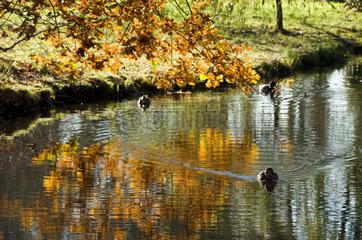 Potsdam  in einem Park schwimmen Enten