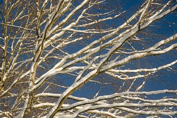 Winterwald  Buchen (Fagus sylvatica)  Schwaebische Alb  Baden-Wuerttemberg  Deutschland  Europa