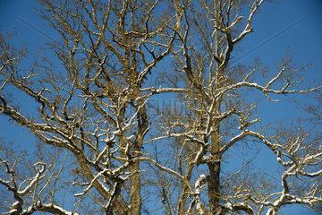 Winterwald  Pappel (Populus spec.)  Schwaebische Alb  Baden-Wuerttemberg  Deutschland  Europa