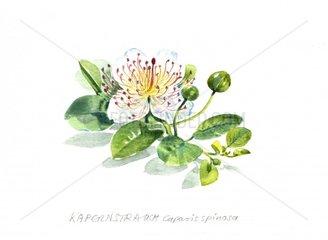 Kapernstrauch Caparis spinosa