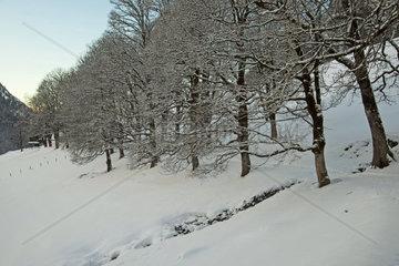 Winterwald  Buchenallee (Fagus sylvatica)  Gerstruben bei Oberstdorf  Allgaeu  Bayern  Deutschland  Europa