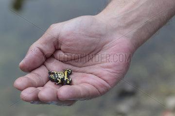 Gelbbauchunke  Bombina variegata  yellow-bellied toad