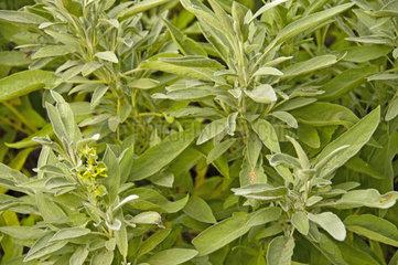 Blaetter des Salbei  Echter Salbei  Salvia officinalis  Heilpflanze des Jahres 2003